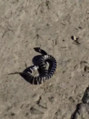 夜跑时遇到陆地第四大毒蛇——银环蛇 真是惊恐不已!
