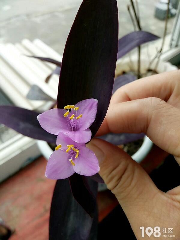 从朋友家移植的紫罗兰种了两天就开花了