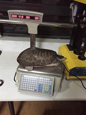 社友水库里**次抓到9.4斤大甲鱼,该怎么处理?