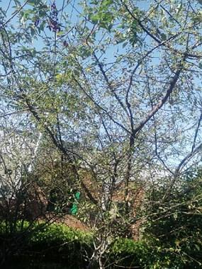 树上密密麻麻的果子我老家叫棠粒子,社友们你家乡话叫什么?
