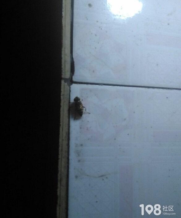 这是苍蝇和蜜蜂的结合体?