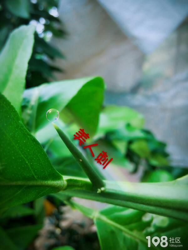 红美人桔园2