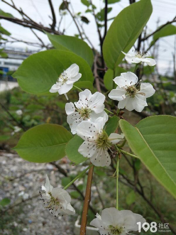 奇怪!社友家梨树竟然现在开花,这逆生长是什么情况?