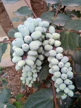 """社友求助:长得像""""葡萄""""一样的果子,你们知道这是什么吗?"""