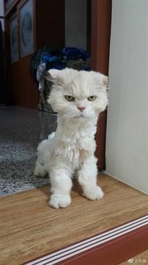 一网友非要自己给猫咪剪毛,结果…