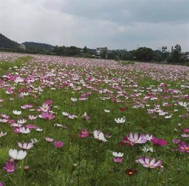 【最美风景】初夏去王港,与高原幸福花来一次美丽之约
