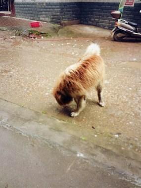 谁的狗,好肥大的狗狗在路上乱走,应该是走丢的