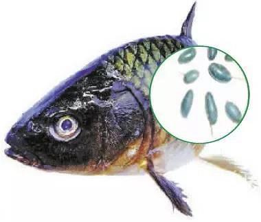爱吃鱼的人注意了!鱼身上这6个部位,万万不能吃
