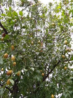 到了吃枣子的季节!,富阳社友这枣子清甜脆口,好吃的飞起来
