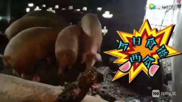 老人用水果喂的猪,一年长到900斤!吓得我扔下了手中的瓜……