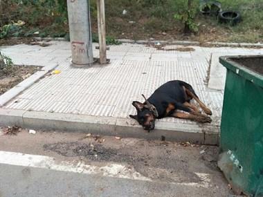 """名犬罗威纳惨遭主人""""虐待"""",死后还被横尸垃圾桶旁"""