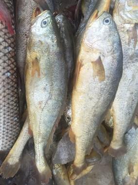 心酸!野生大黄鱼一千二一斤 打工仔吃不起只能干看着