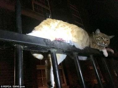 """大难不死!""""猫坚强""""被3条金属栅栏刺穿 竟奇迹生还"""