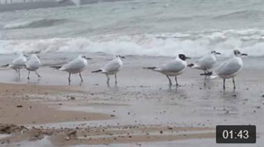 海鸥翔集栈桥觅食,引来众多游客