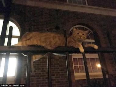 """""""猫坚强""""身体被三条金属栅栏刺穿 竟奇迹生还"""