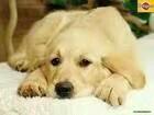 本人想养一只狼狗或者大型犬。有小狗崽的联系我。
