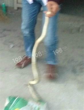 家门口抓到一条蛇!我花200元和他做了交易,把蛇...