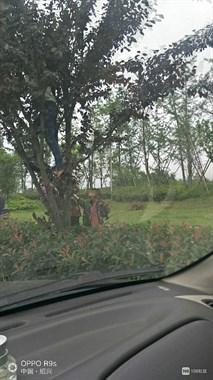 嵊张线老人小孩齐上阵,搬来农具!爬树敲树只为这不值钱东西