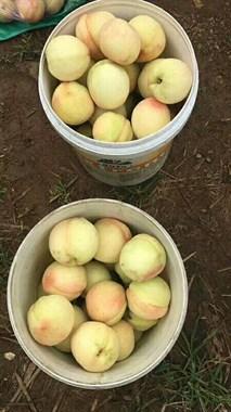 江苏阳山水密桃品种移种三界,欢迎各位批发,采摘,品尝