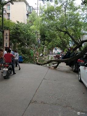 凉山树又一棵大树被吹倒 小车惨被砸!整条路都堵住了…