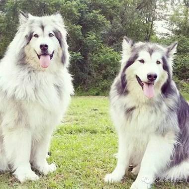 10胞胎的阿拉斯加,看一眼就被帅到了...