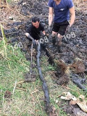 今年的藕王了!小越田里挖出了二米多长的莲藕