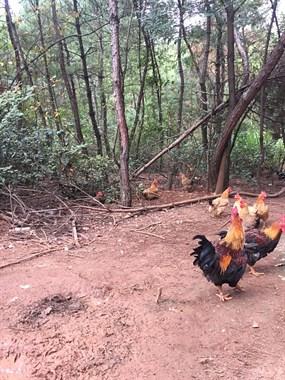 放山鸡出售!