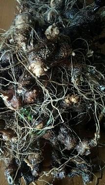 认识这种植物吗?叶子像红薯,土下却长出可治咽喉炎的宝贝