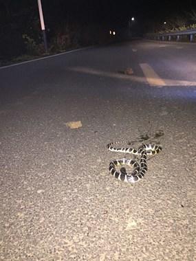 吓尿了!半夜出门在温泉大道偶遇这毒物,嘎粗一条横在路中央