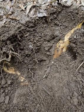 真正的高手!阴雨天陈溪山里挖冬笋,一小时就收获满满!