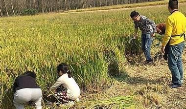 今年过年要18根稻子?姑妈家那边稻子被拔,还有人报警