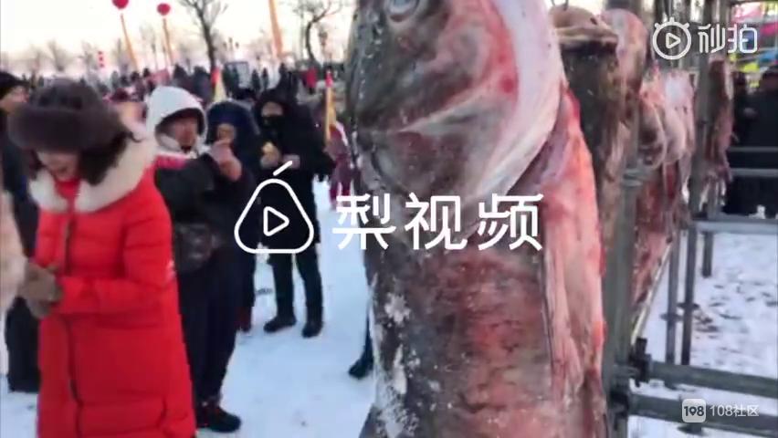 """鱼鱼鱼鱼鱼鱼!冬捕大场面,30斤""""头鱼""""近9万元拍走"""
