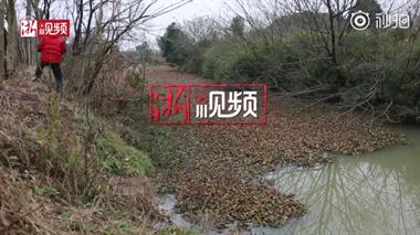 洛塘河被疯长的水葫芦覆盖,像铺了灰毛毯!下游水质影响大!