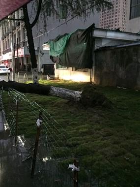 飞来横祸!兴旺街大树突然倒下,连根拔起砸中大奔后备箱