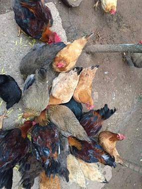 放山鸡出售