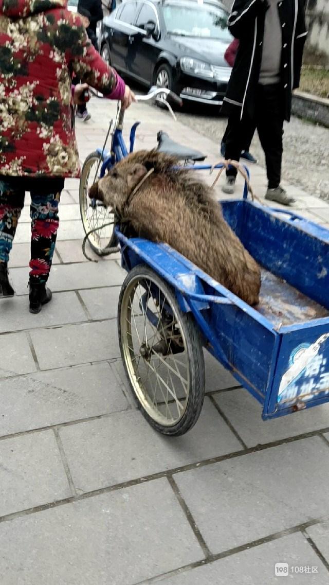 什么情况?街头一野猪被绑三轮车上 看起来十分无助!