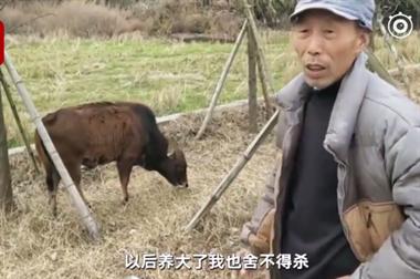 衢州惊现通人性的小牛,牛主人伤感:这牛以后不杀了!