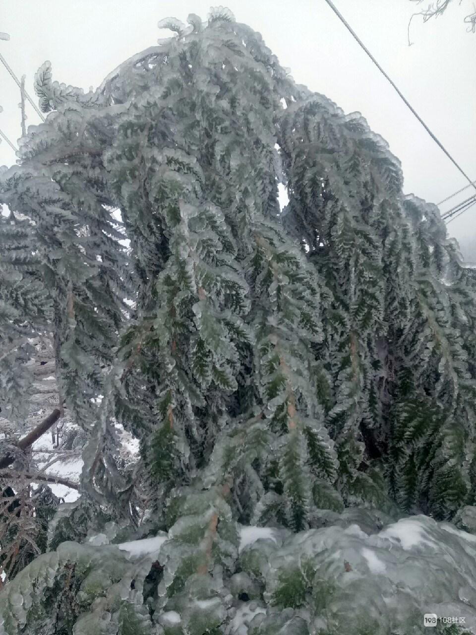 嵊州这些地方变成冰雪世界!毛竹压弯腰,油冻包住香榧树