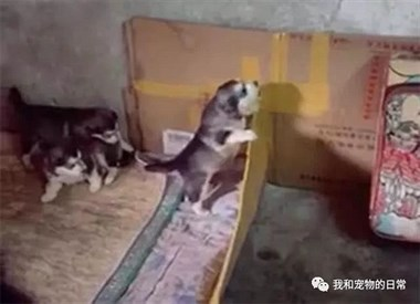 小二哈不停地叫,主人让狗妈妈去管管,接着狗妈妈做出了这个举动!