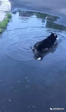 哈士奇跑去水塘里玩,在里面不停的打滚,气得主人直跺脚!