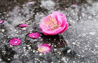 雨后梅花别样美,妖娆妩媚惹人醉。