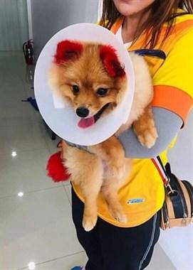 主人给狗狗染毛导致双耳掉下……请不要再这样对它们!