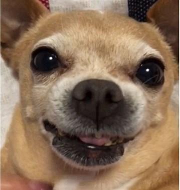 年迈的吉娃娃牙齿掉光,一张嘴就让主人想笑