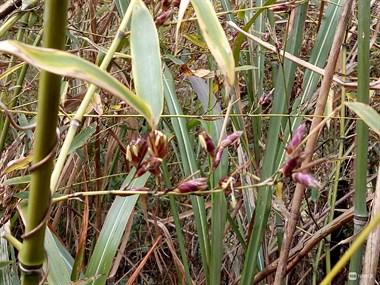镇巴佬拍到竹子开花!很特别还是紫色的呢!