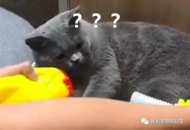 在蓝猫面前将尖叫鸡的头给拧下来,猫咪看我的眼神都变了!