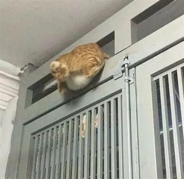 别的猫都是液体,但橘猫不一样...