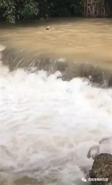 金毛看见矿泉水掉进瀑布中,顺势就跳了下去,主人在一旁都快吓哭了!