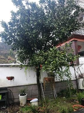 【转卖】橘子树