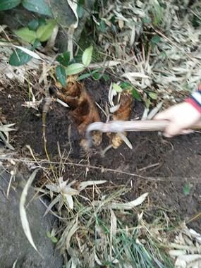 这笋挖的不容易啊!必须两个人一起努力才挖的出来??