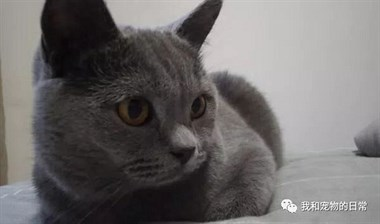 将阿拉斯加和猫咪一起混养后,结果一举一动都和小猫咪一样了!